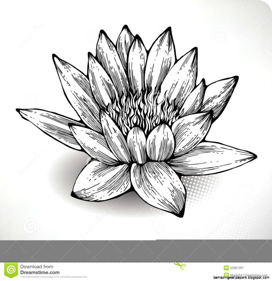 Download Water Lily Flower Sketch Clipart White Water Lily Drawing