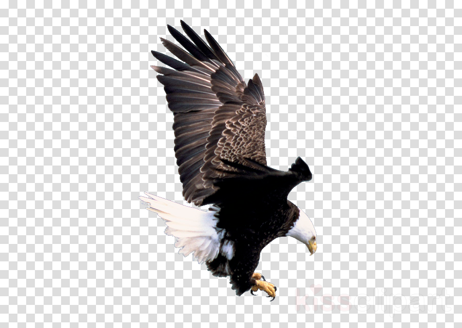 bald eagle hd iphone clipart America's Bald Eagle Bird