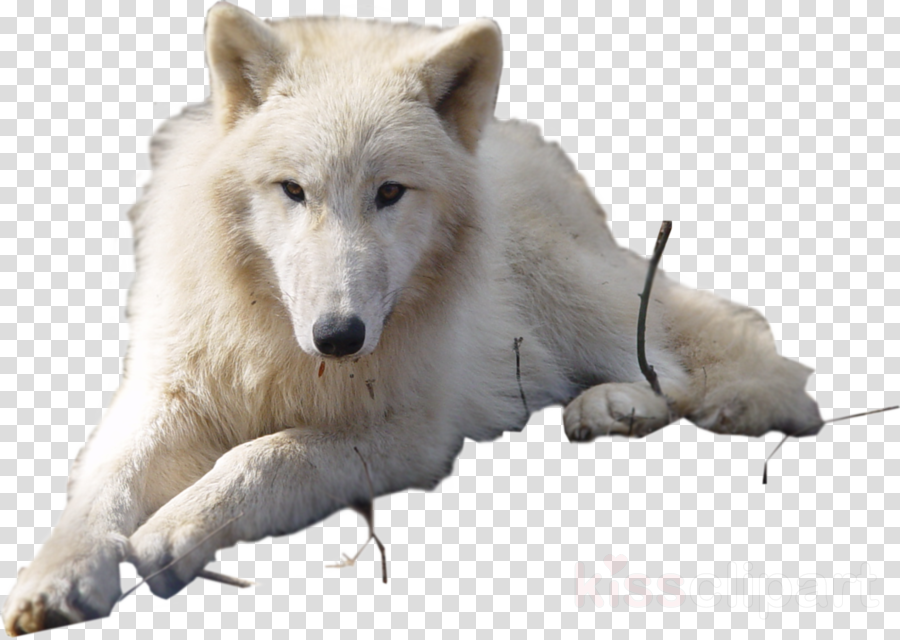 arctic wolf no background clipart Dog Arctic hare Arctic wolf