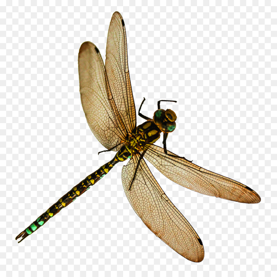 dragonfly images png clipart Insect Clip art