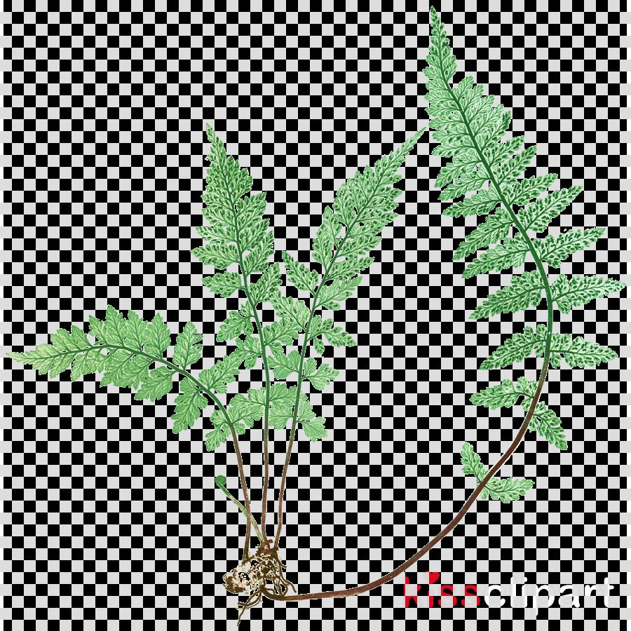 leaf clipart Fern Metropolitan Museum of Art Art museum