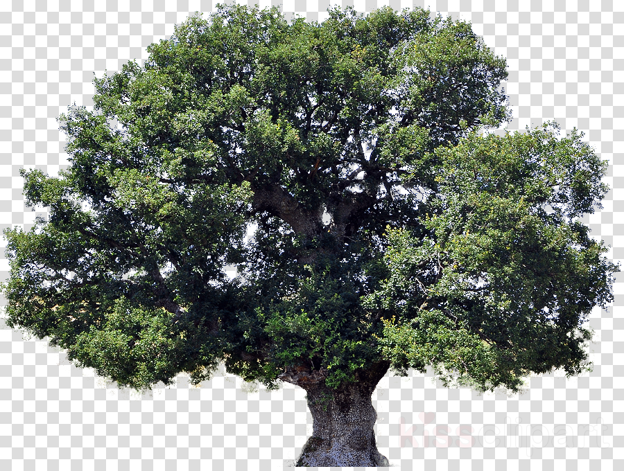 Tree Plant Oak Transparent Png Image Clipart Free Download