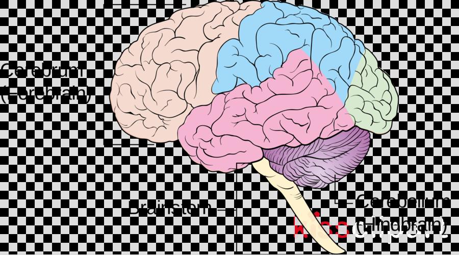 Brain Cross Section Diagram Unlabeled - Aflam-Neeeak
