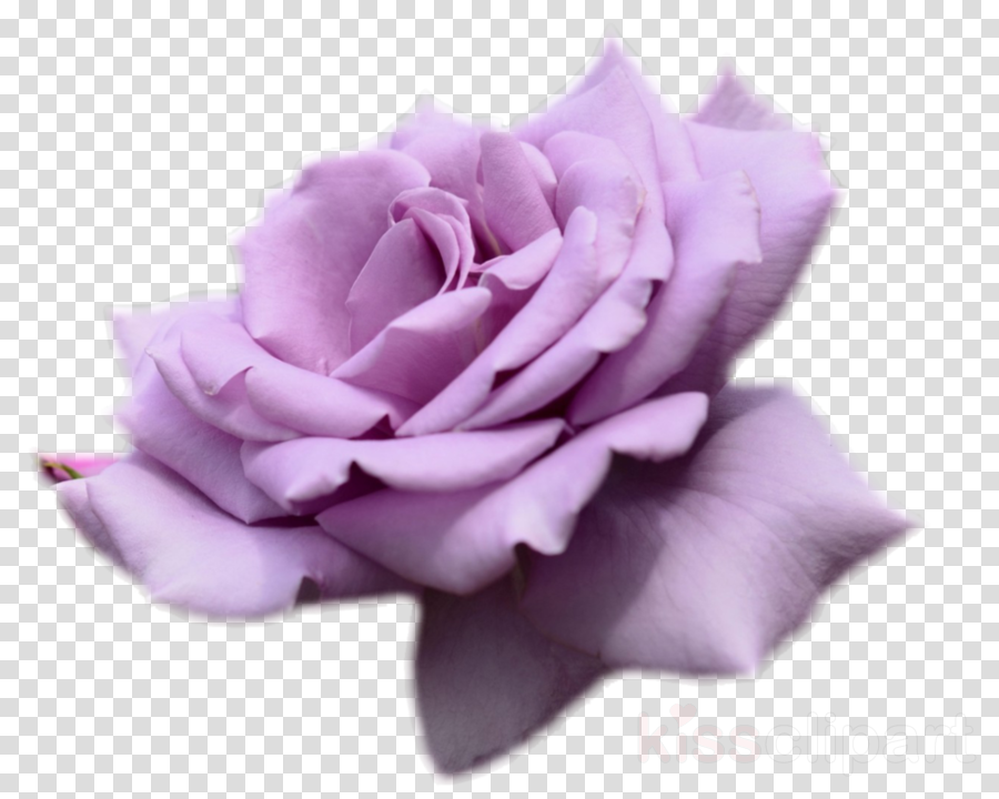 purple rose with no background clipart Garden roses Cabbage rose Flower