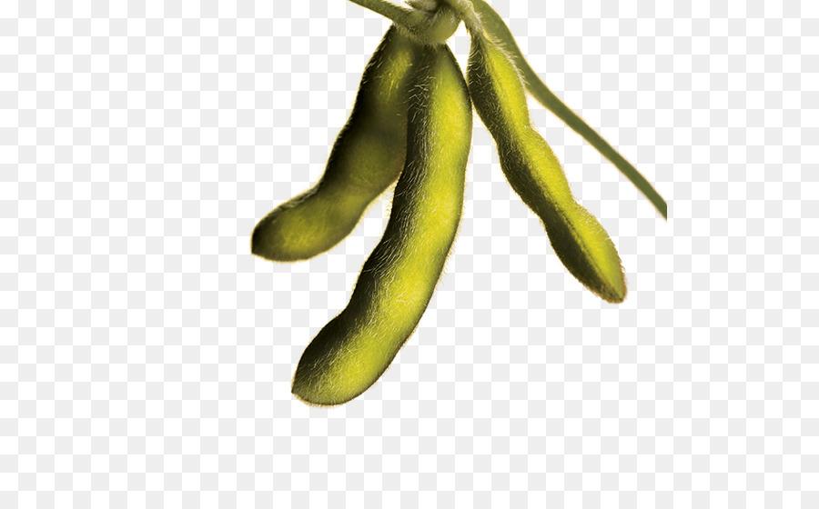 Soybean clipart Velvet bean Genetically modified soybean