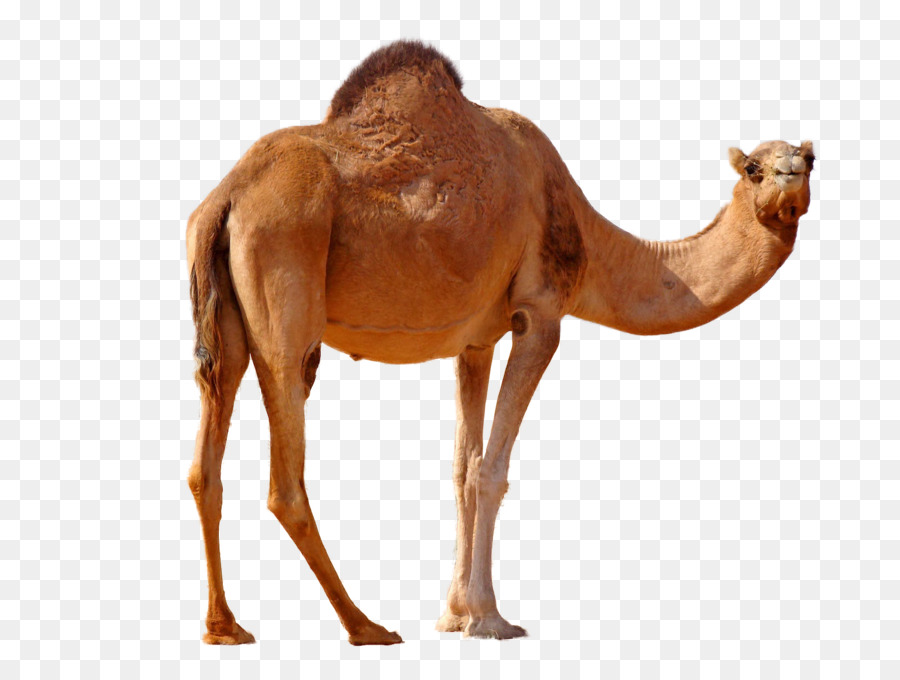 do camels store in their humps clipart Bactrian camel Dromedary Australian feral camel