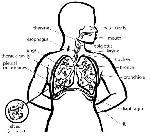 Bronchi Diagram