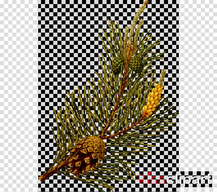 pinus sylvestris clipart Scots pine Lodgepole pine Tree