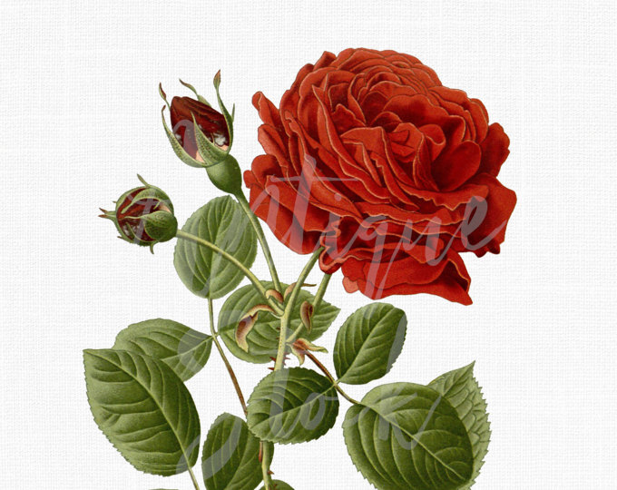 Birthday Wedding Marriage Flower Rose Plant Png Clipart Free