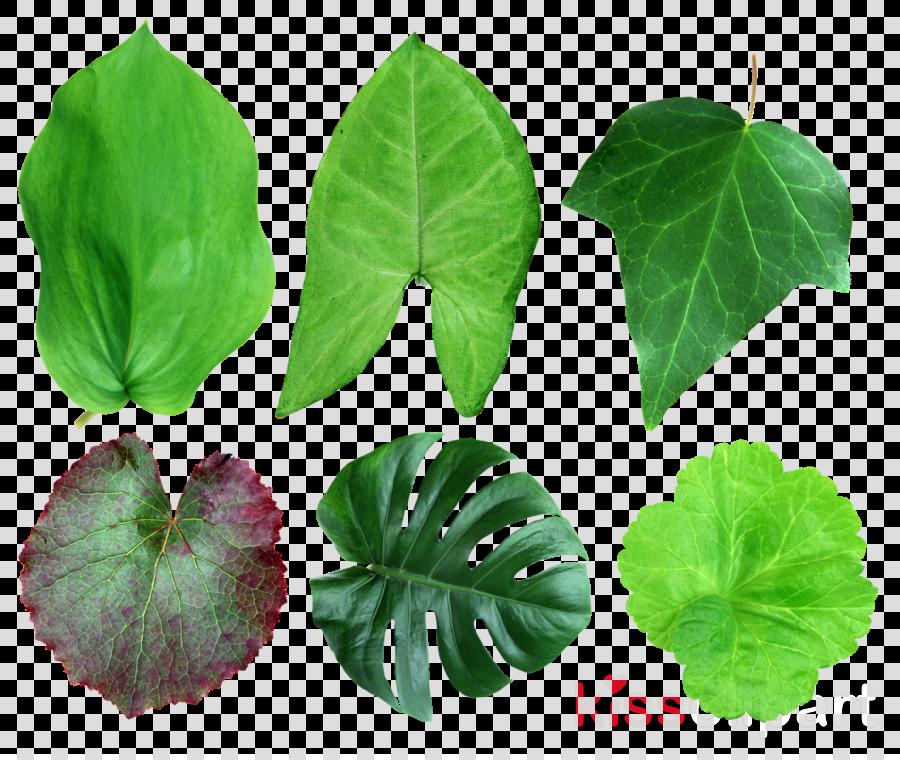 gatenplant blad botanisch - fotoprint op aluminium 60x40 clipart Leaf Swiss cheese plant Clip art