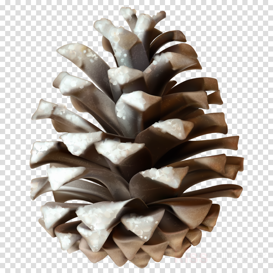 Pine clipart Stone pine Pine nut Clip art