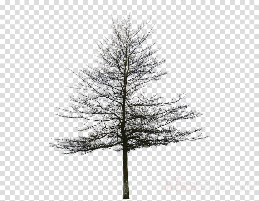 black and white tree archtechture png clipart Spruce Pine Architectural rendering