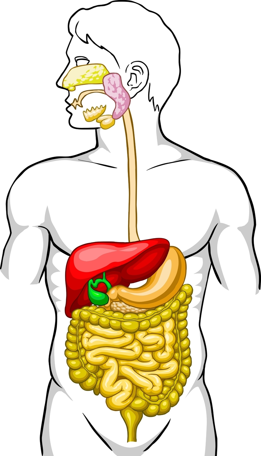 Download Digestive System Without Labels Clipart Human Digestive