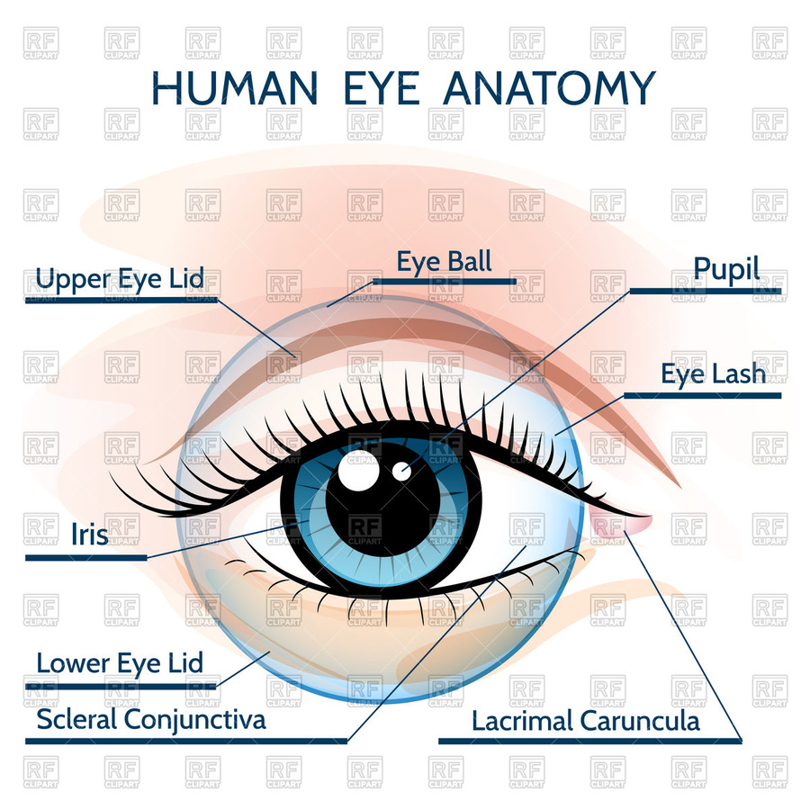 Diagram Of The Human Eye Anatomy Human Eye Cataracts Diagram Human