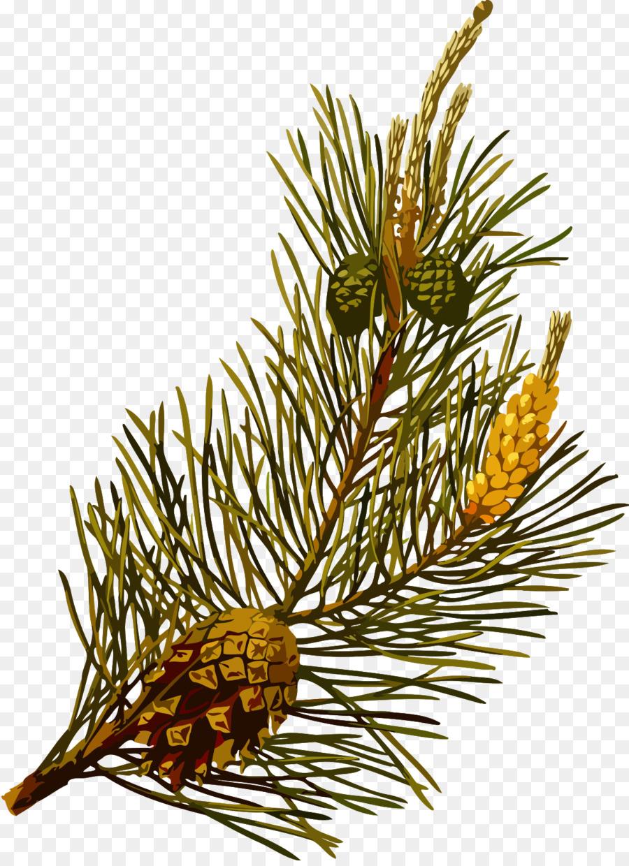 scot pine png clipart Scots pine Köhler's Medicinal Plants Pine oil
