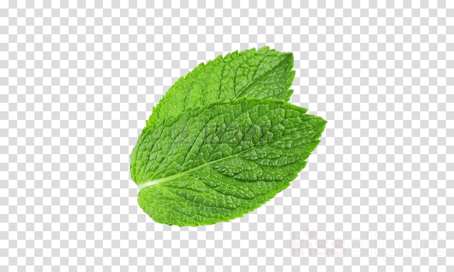 mint leaf png clipart Peppermint Mint leaf