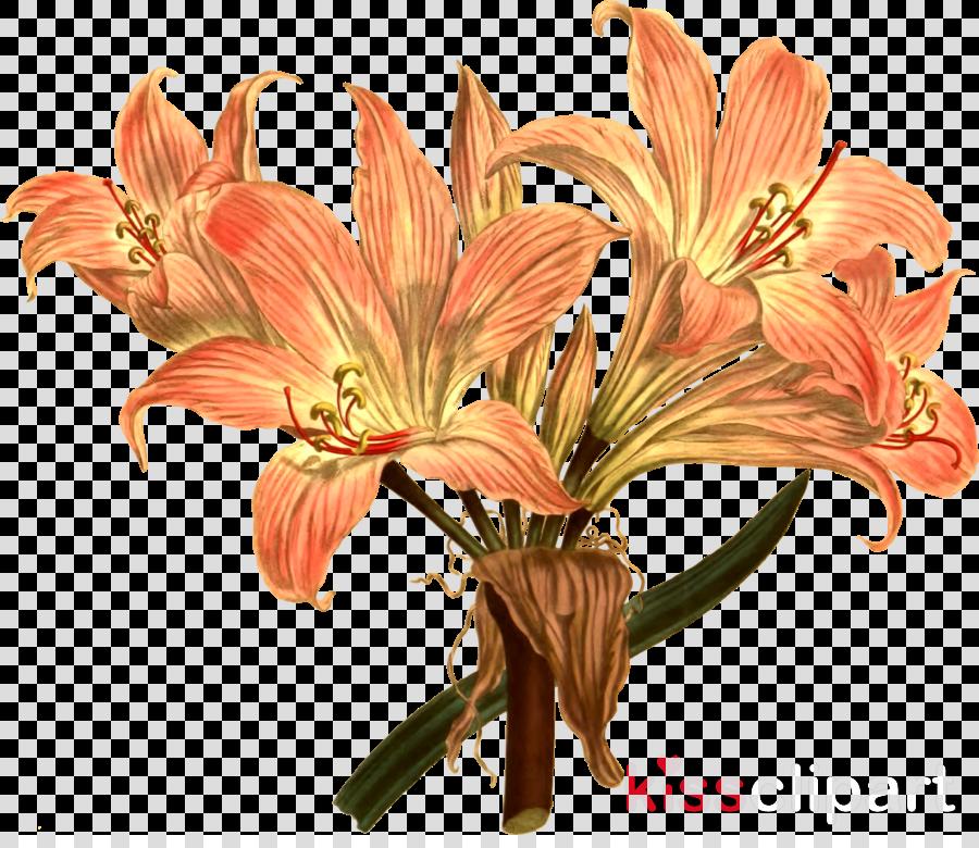 tiger lily botanical illustration clipart Floral design Jersey lily Tiger lily