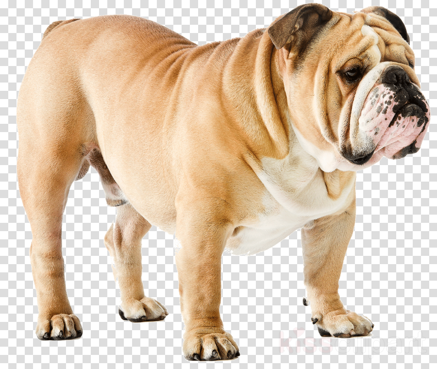 english bulldog english bulldog english bulldog sticker (oval) clipart French Bulldog American Bulldog