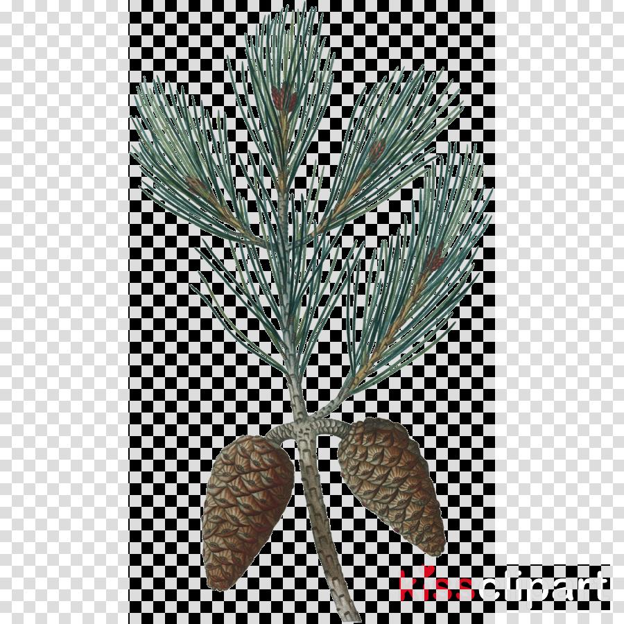 Pine clipart Pinus halepensis Pine Botanicum