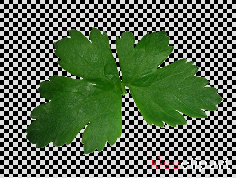 hoja de cilantro png clipart Parsley Coriander Herb