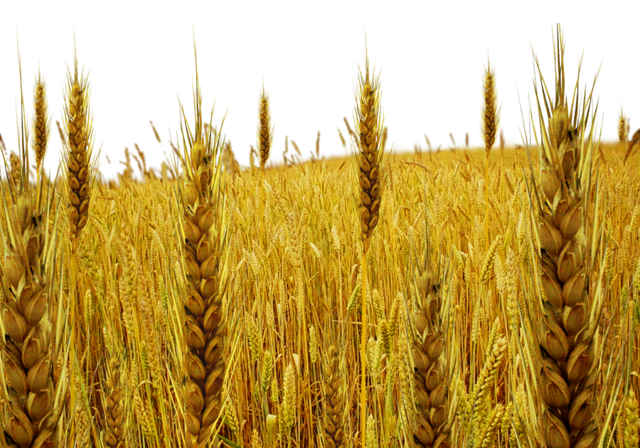 Wheat Field Cartoon Png , Transparent Ca #2616803 - PNG Images - PNGio