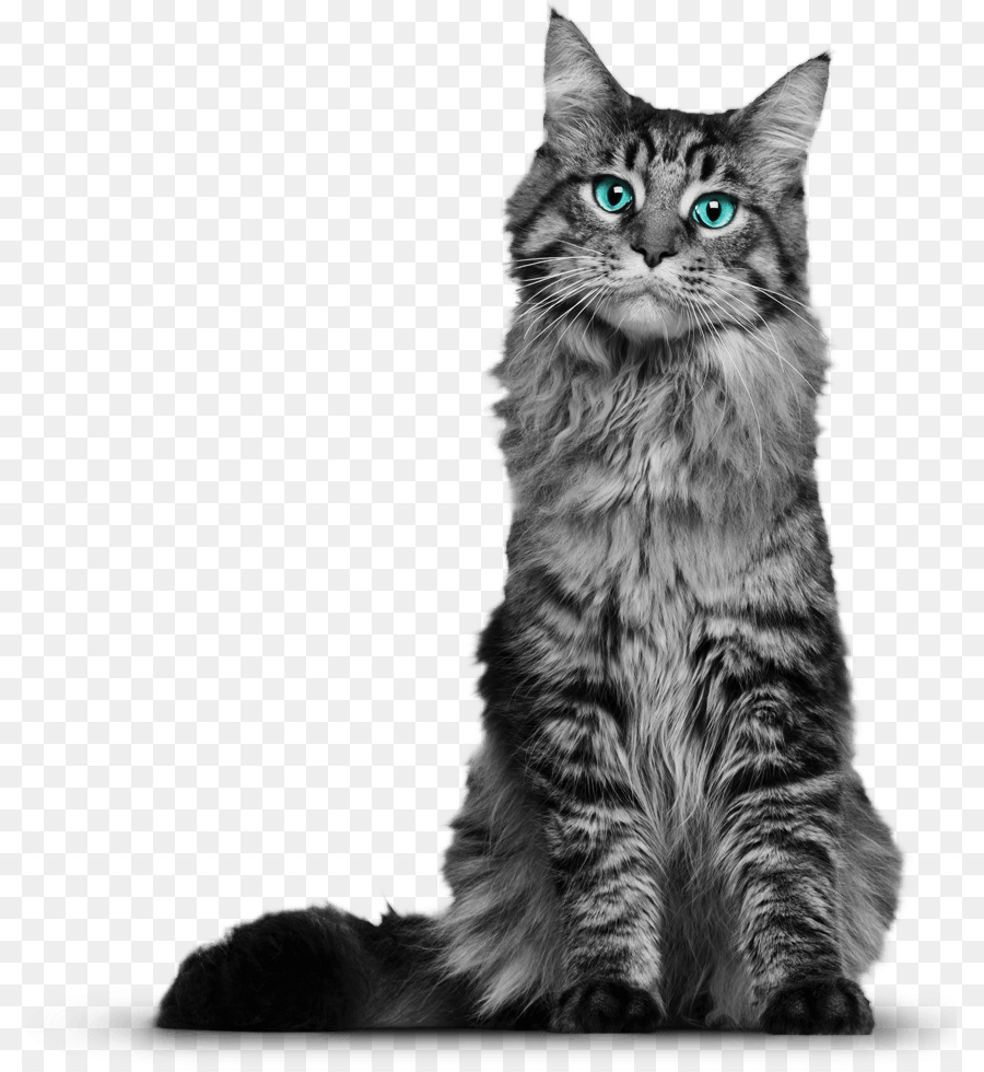 maine coon cats: the owners guide from kitten to by rosemary kendall clipart Maine Coon Siberian cat British Shorthair