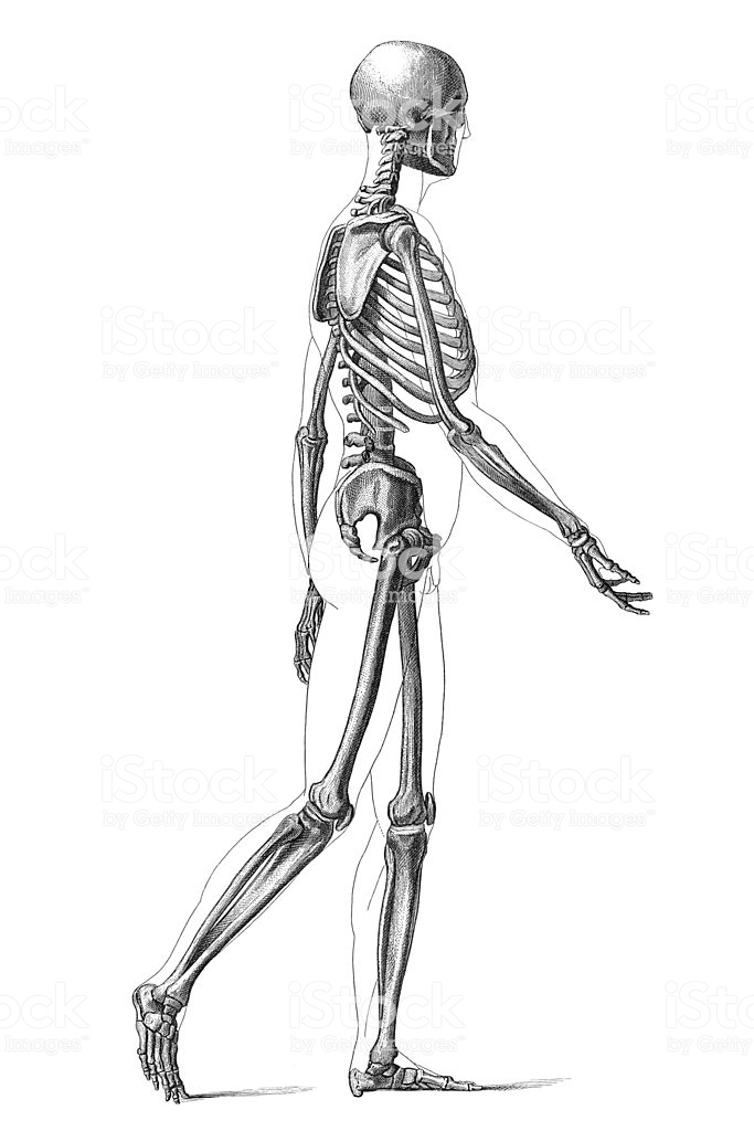 Clipart Resolution 6831024 Skeleton Drawing Reference Clipart