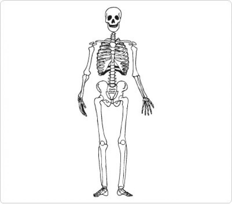 Clipart Resolution 800702 Skeletal System Diagram Worksheet