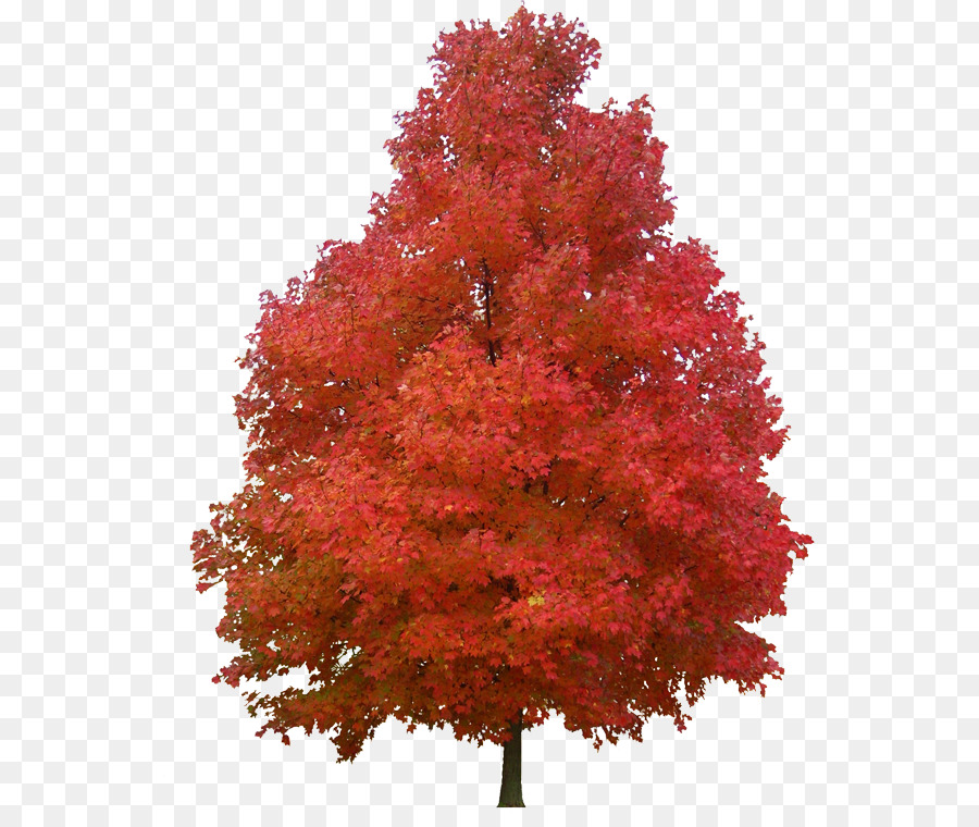 Image result for red maple tree clipart