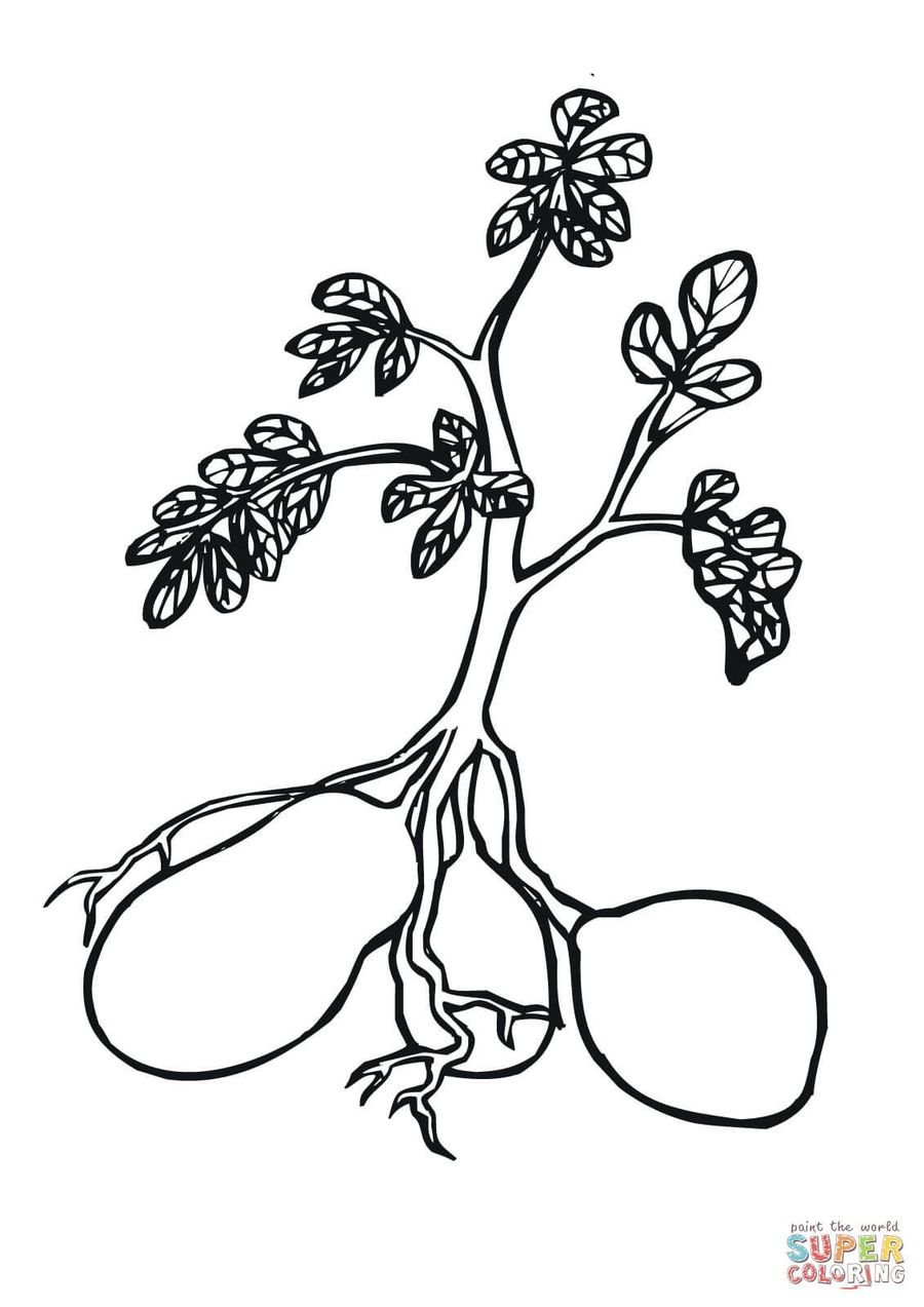 Potato Plant Colouring Pages Clipart Sweet Potatoes Coloring Book