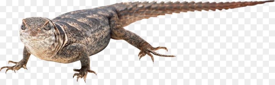 Lizard clipart Agamas Lizard Chameleons