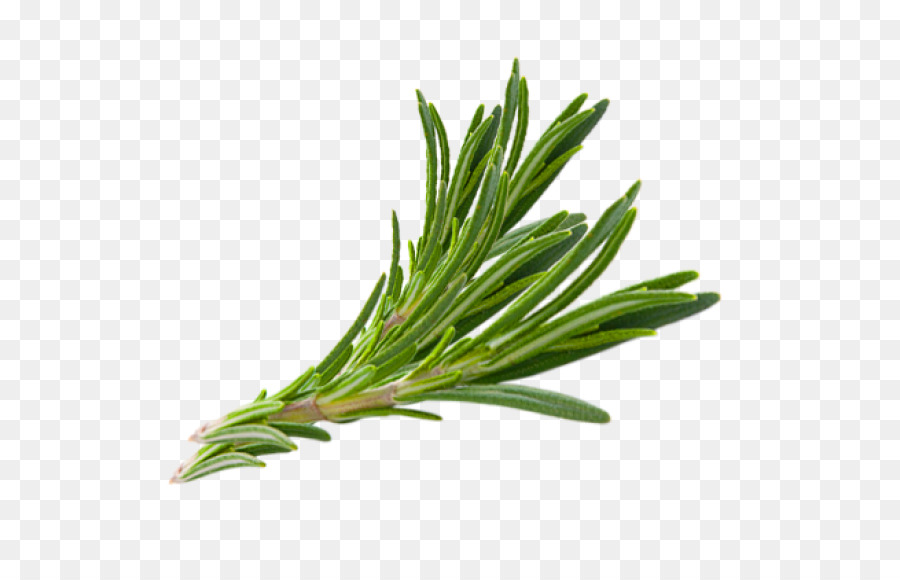 transparent herbs png clipart Herb Rosemary