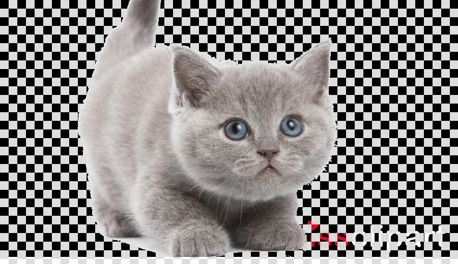 kitten white background clipart British Shorthair Kitten Persian cat