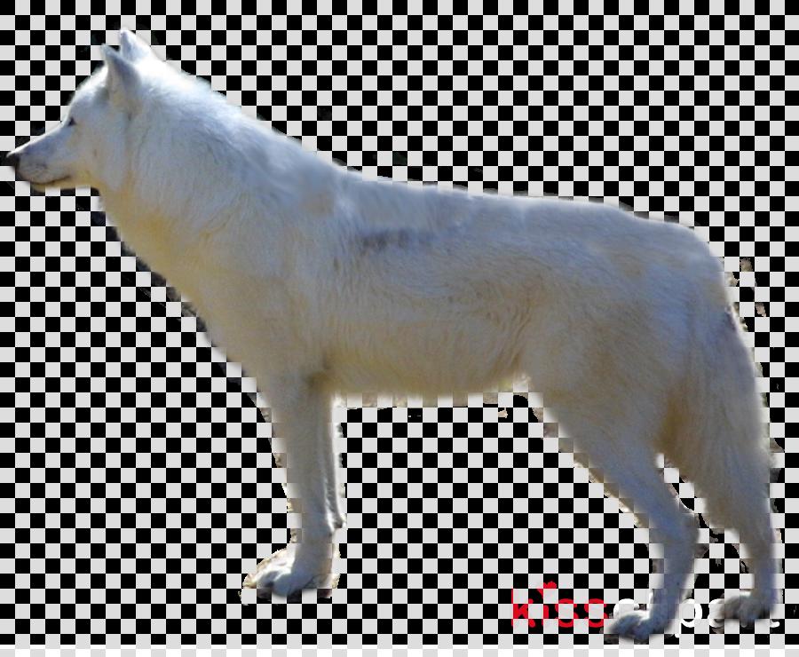 Arctic wolf clipart Alaskan tundra wolf White Shepherd Arctic wolf