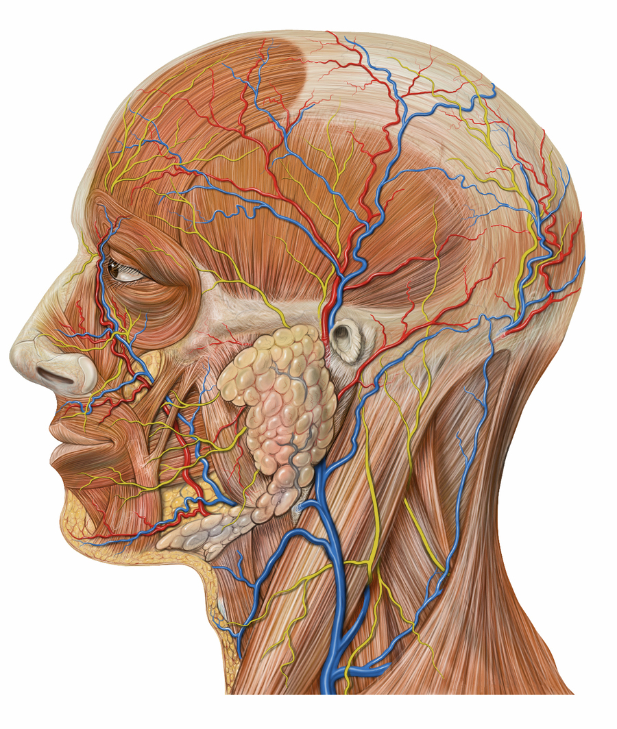 Download Lateral Head Anatomy Clipart Head And Neck Anatomy Human