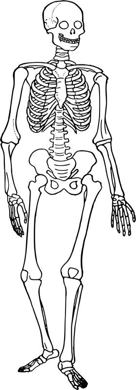 Download Skeletal System Cartoon Clipart The Skeletal System Human