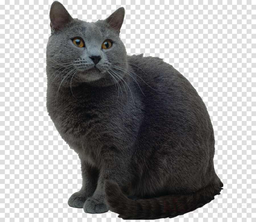 Cat clipart Korat Chartreux European shorthair