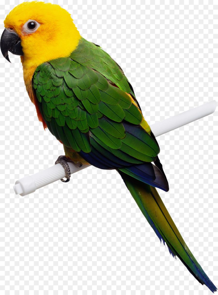 Birds parrot. Bird parrottransparent png image