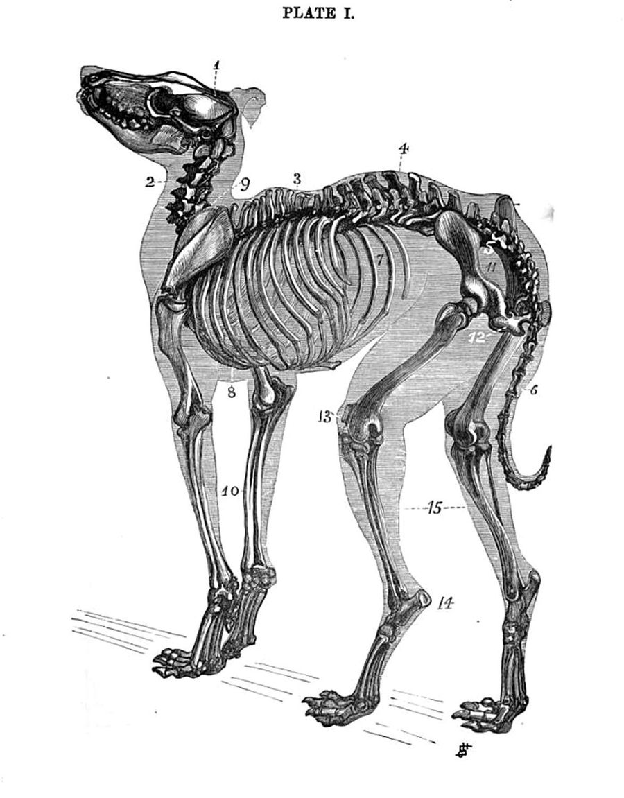 Download Dog anatomy clipart Dog anatomy Dog anatomy | Dog,Muscle ...