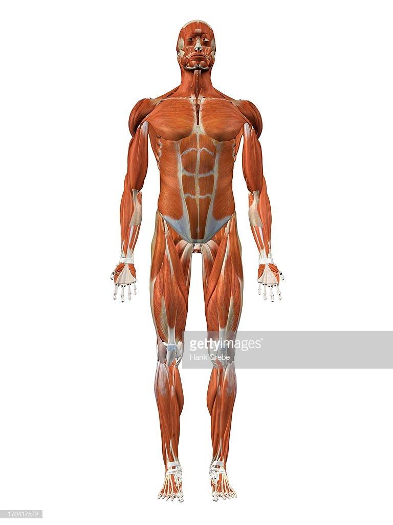 Download Abdomen Clipart Abdomen Thorax Anatomy Musclehuman