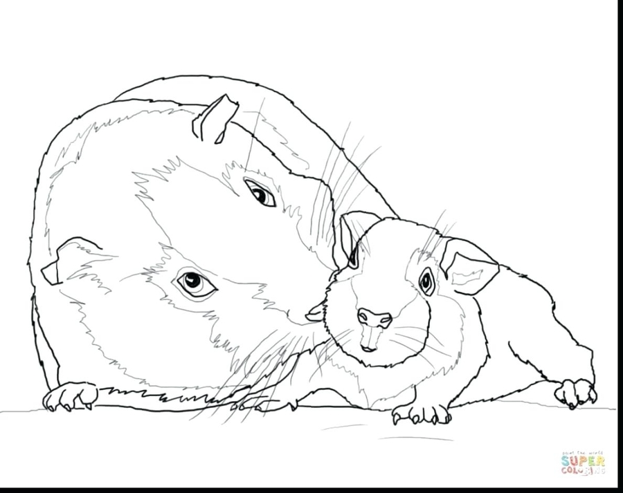 Download guinea pig coloring pages clipart Guinea pig Colouring ...