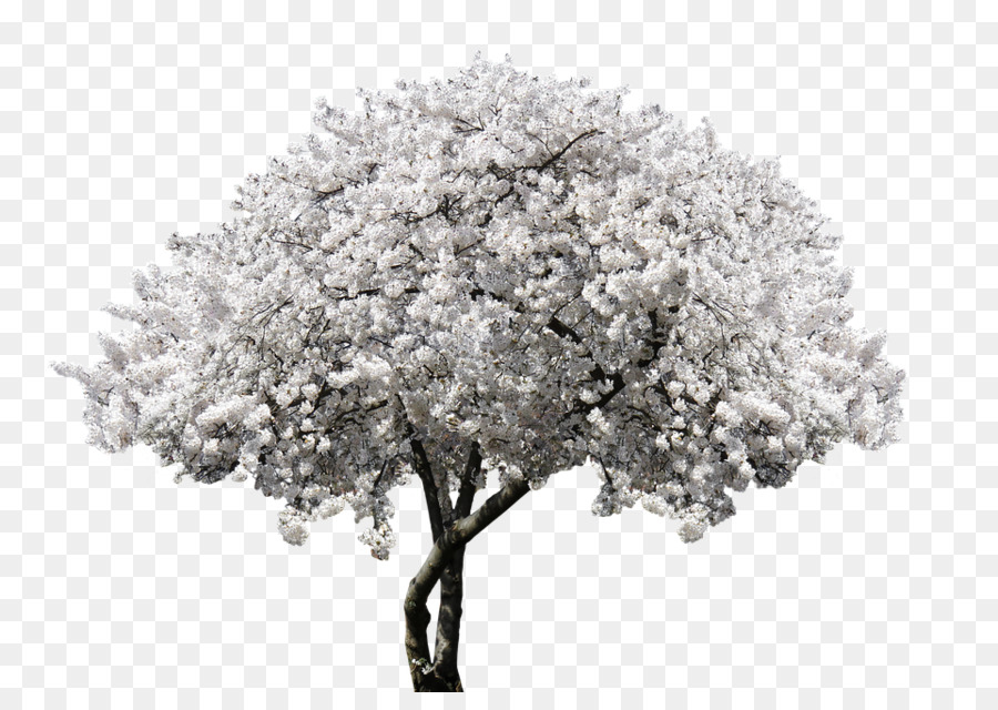 spring tree png clipart Cherry blossom Tree