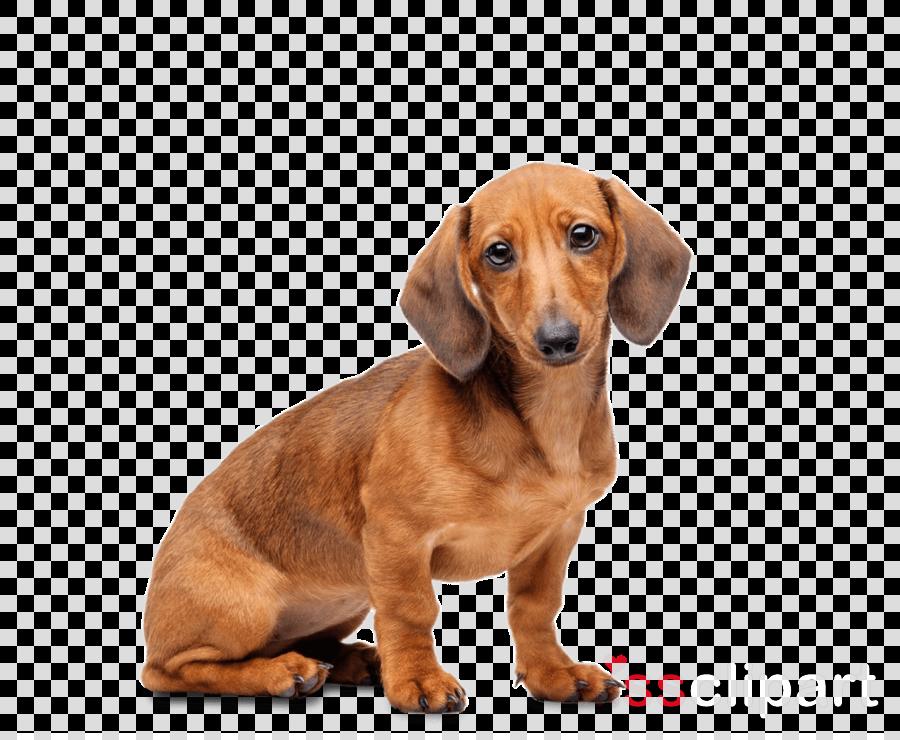 dachshund tricks training dachshund tricks & games training tracker & workbook. includes: dachshund multi-level tricks, games & agility [book] clipart Dachshund Puppy Beagle