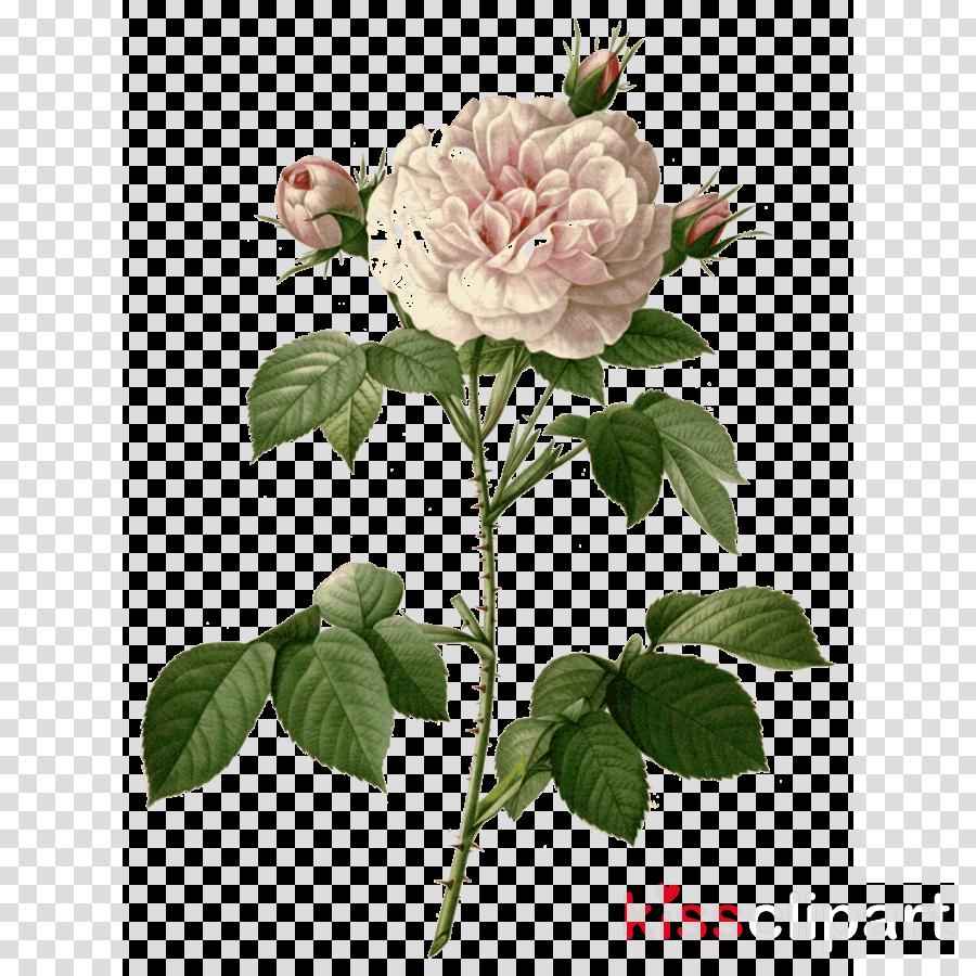 Roses Botany Art Transparent Png Image Clipart Free Download
