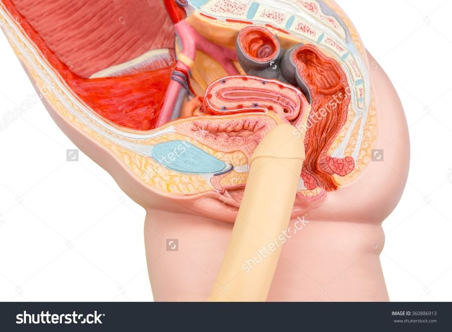 Download Vagina Diagram Clipart Vagina Sexual Intercourse Sex Organ