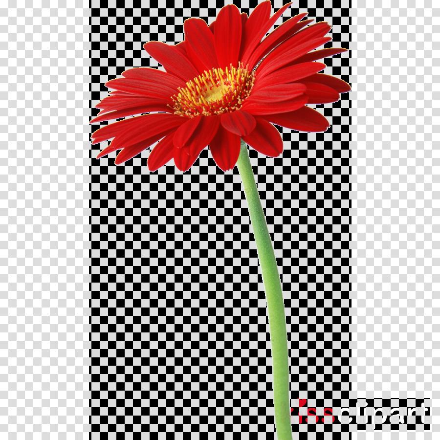 daisy flower png clipart Transvaal daisy Desktop Wallpaper