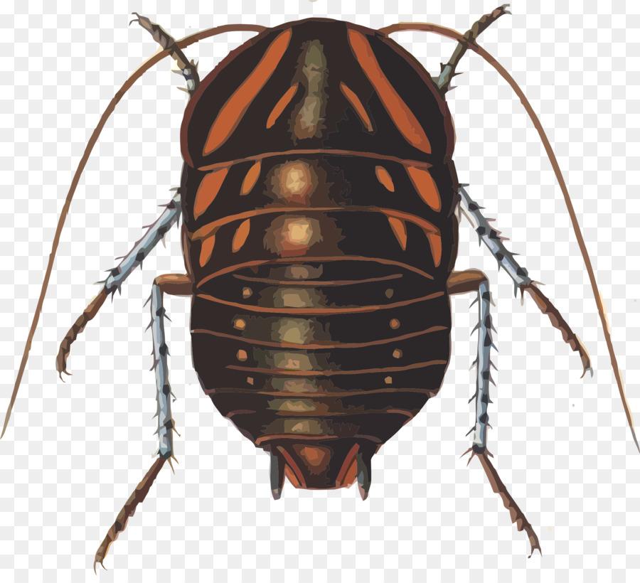 Polyzosteria mitchelli clipart Cockroach Beetle Polyzosteria mitchelli