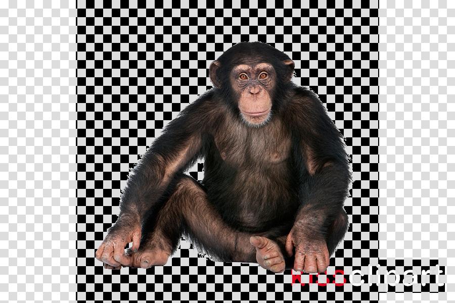 monkey transparent background clipart Ape Common chimpanzee
