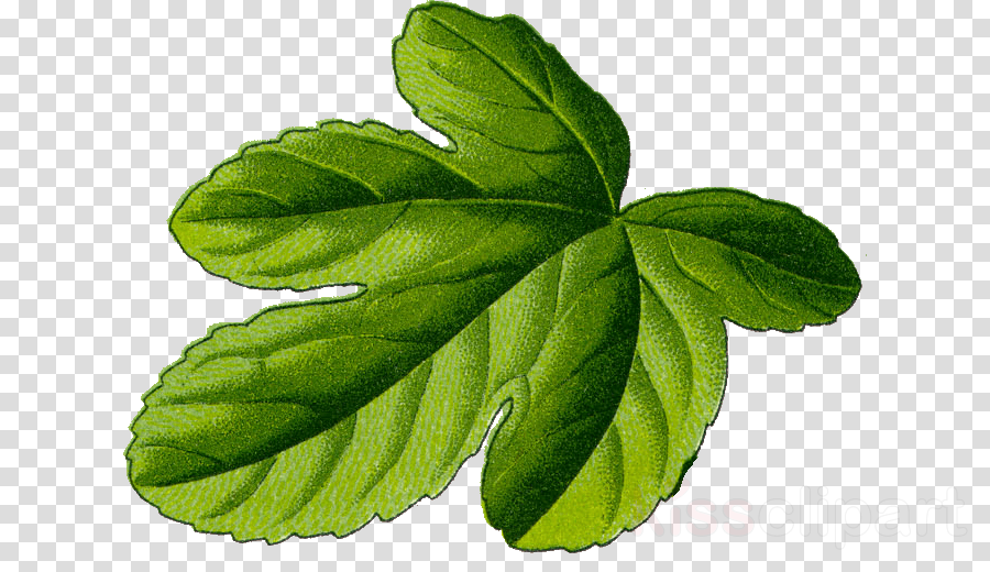 ficus carica clipart Common fig Botany Plants