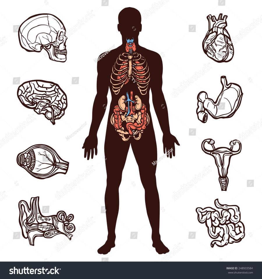 Download human organ sketch clipart Internal Organs of the Human ...